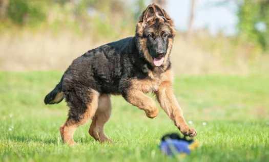 How to Train a Female German Shepherd Puppy