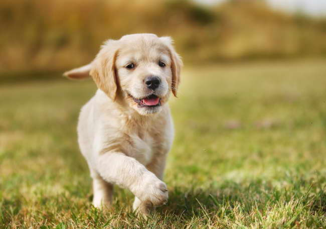How to Train a Golden Retriever Puppy