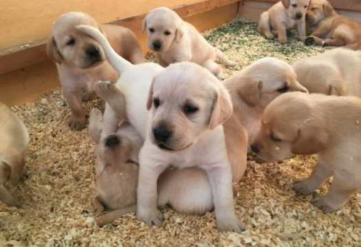 labrador retriever puppies for sale in colorado