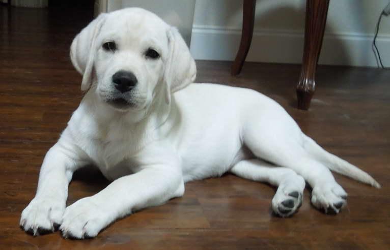 labrador retriever puppies for sale in nj