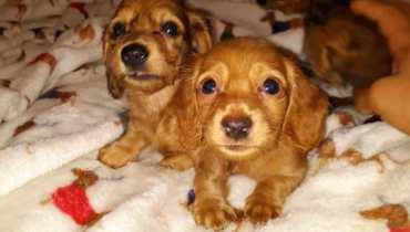mini dachshund for sale in california