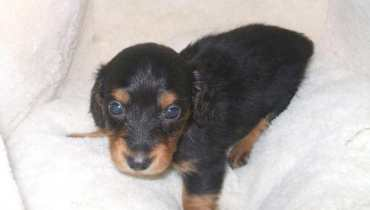 mini dachshund puppies for sale in ny