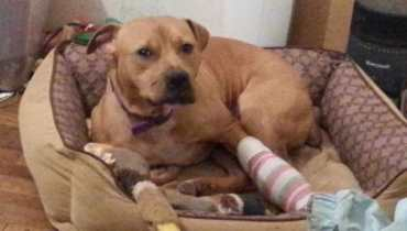 pit bull saves life