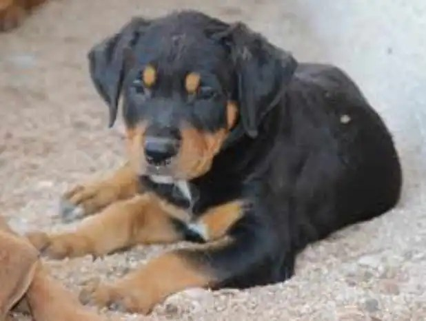 pitbull and rottweiler mix puppies for sale