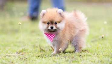 pomeranian puppies chicago