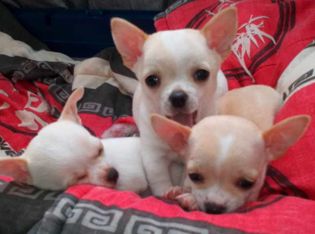 Red Chihuahua Puppies For Adopt