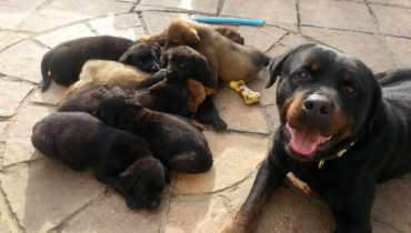 rottweiler chow mix puppies