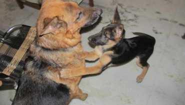St Louis German Shepherd Rescue