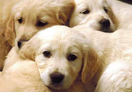 blonde golden retriever puppy