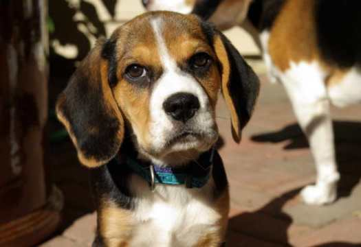 cascade beagle rescue