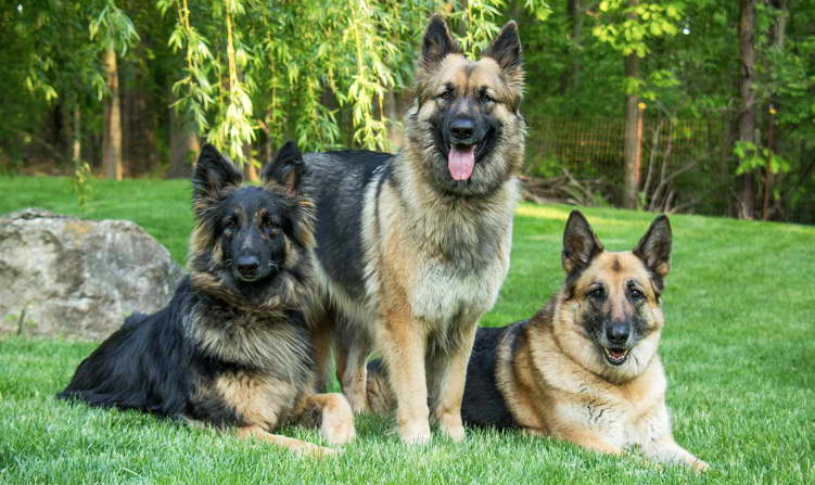 German Shepherd Breeders in New York