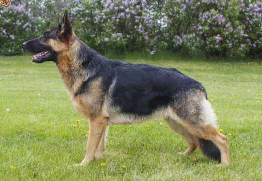 German Shepherd Insurance