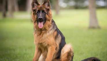 german shepherd orlando florida