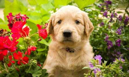 Golden Retriever Puppies in Iowa
