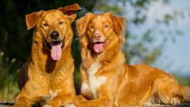 Golden Retriever Puppies Jacksonville NC