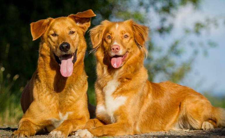Golden Retriever Puppies Jacksonville NC