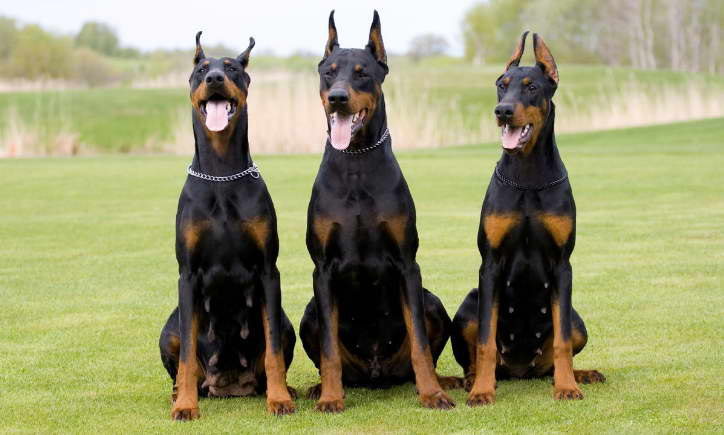 great dane doberman mix puppies
