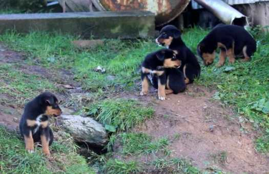 great dane rottweiler mix puppies for sale