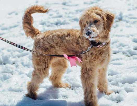 greyhound dog comb