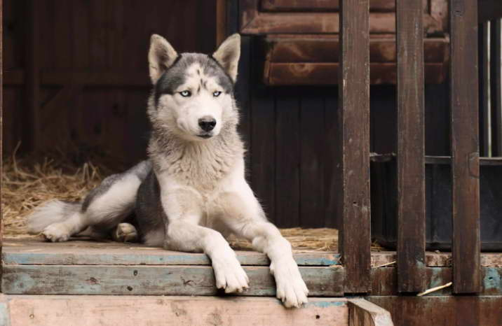 husky haven rescue