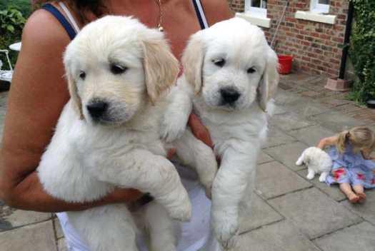 Local Golden Retriever Puppies