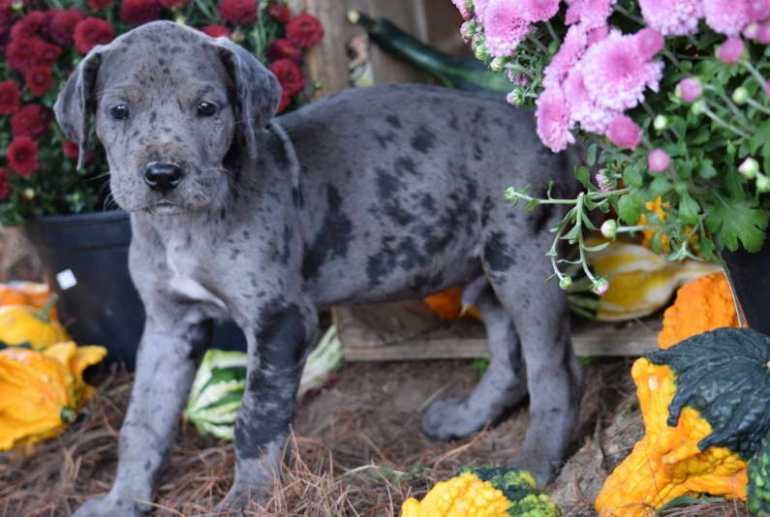 male great dane puppies for sale