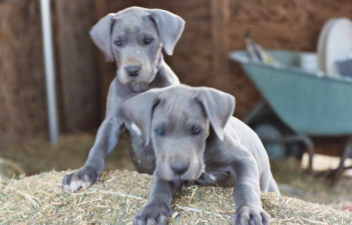 Price of Great Dane Puppy