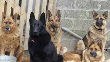 spokane german shepherd puppies