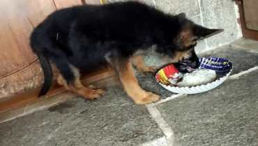 what can german shepherd puppies eat
