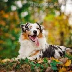 Australian Shepherd  Australian shepherd dogs, Australian  - Australian Shepherd Dog