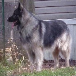 king shepherd dog photo  Index of /pictures/king-shepherd  King  - Shepherd Dog Breeds