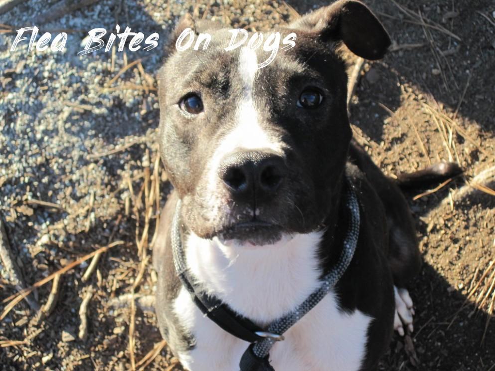 Penelope - Flea Bites On Dogs
