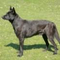 Five Advice That You Must Listen Before Embarking On Dutch Shepherd Dog   Dutch Shepherd Dog