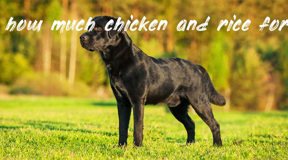 Information about how much chicken and rice for dog by weight uk