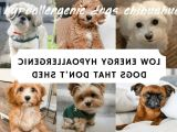 Hypoallergenic Dogs Chihuahua