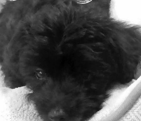 Hypoallergenic Dogs Adoption Near Me