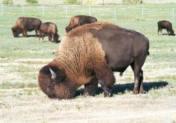 1919-buffalo
