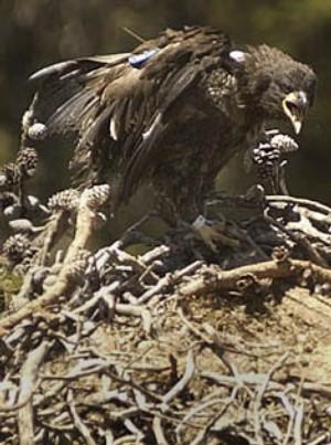 Eagle_t300