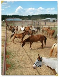 horses-in-corral