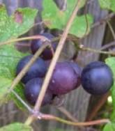 Mustang_grapes