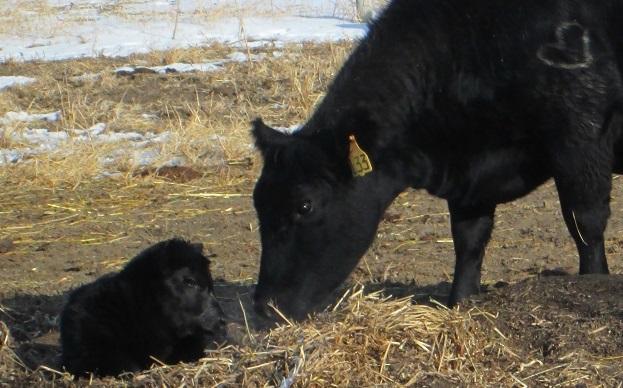 Mitten cow