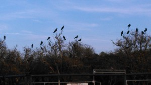 herd of birds at the ranch