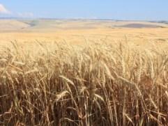 E Oregon Wheat fields