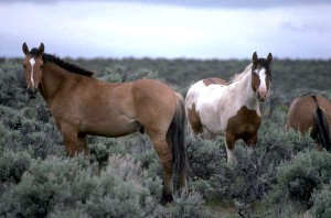 Mustang horses in Nevada
