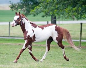 a Paint horse