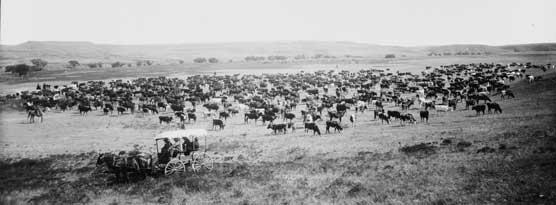 longhorn herd