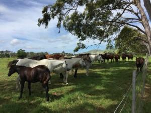 Petticoats Parker horses 2