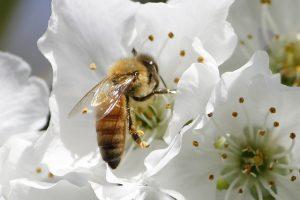 honeybee-1152580_640