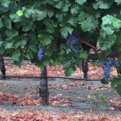 H grapes