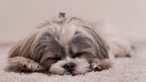 sleeping lhasa apso